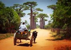 Cart. Zebu cart on a dry road leading through baobab alley. Madagascar Stock Photos