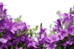 Carta con i fiori porpora della campanula isolati su bianco Fotografie Stock Libere da Diritti