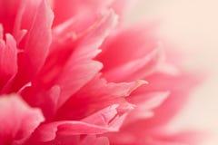 Carta con un primo piano di belle peonie rosa Immagini Stock