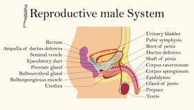 Carta da educação da biologia para o diagrama de sistema reprodutivo masculino ilustração do vetor