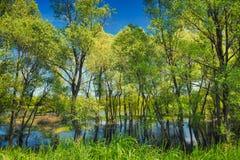 Carta da parati degli alberi nella palude vicino al fiume di Narew, Immagine Stock
