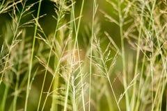 Carta da parati dell'erba di Lalang Fotografia Stock Libera da Diritti