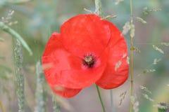 Carta da parati di Poppy Flower Fotografia Stock Libera da Diritti