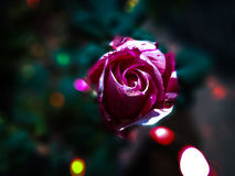 Carta da parati di rosa artistica Immagine Stock Libera da Diritti