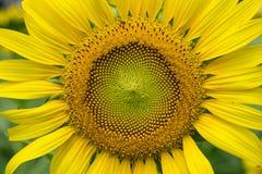 Carta da parati e fondo del fiore di Sun Fotografia Stock
