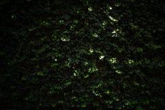 Carta da parati rampicante della pianta Immagine Stock