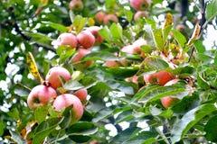 Carta da parati rossa della mela dal chamba, HP Immagine Stock Libera da Diritti