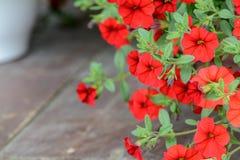 Carta da parati rossa della petunia del fiore Fiori rossi della petunia nel giardino Immagini Stock