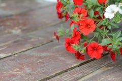 Carta da parati rossa della petunia del fiore Fiori rossi della petunia nel giardino Fotografia Stock