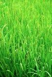 Carta da parati verde di struttura del giacimento del riso Fotografia Stock