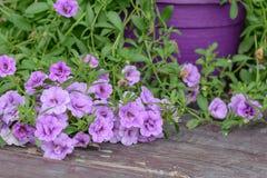 Carta da parati viola della petunia del fiore Fiori viola della petunia nel g Fotografia Stock Libera da Diritti