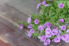 Carta da parati viola della petunia del fiore Fiori viola della petunia nel g Immagini Stock