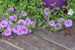 Carta da parati viola della petunia del fiore Fiori viola della petunia nel g Immagini Stock Libere da Diritti