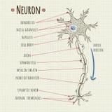 Carta de la neurona del ejemplo del vector Fotos de archivo libres de regalías