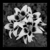 Carta dei gigli di compassione del fiore di condoglianza Funera commemorativo di dolore fotografia stock