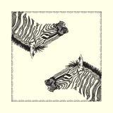 Carta della zebra Fotografia Stock