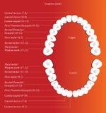Carta dental adulta ilustración del vector