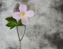 Carta di condoglianza - fiore rosa Fotografia Stock Libera da Diritti
