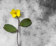 Carta di condoglianza - piccolo fiore giallo Fotografie Stock