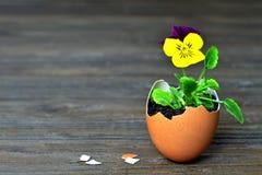 Carta di pasqua: Fiori della primavera in guscio d'uovo Immagine Stock Libera da Diritti