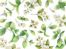 Carta di vettore dell'acquerello dei fiori gelsomino e dei rami della menta isolati su fondo bianco illustrazione di stock