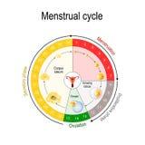 Carta do ciclo menstrual ilustração royalty free