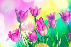 Carta festiva luminosa con i tulipani porpora della molla fotografia stock libera da diritti