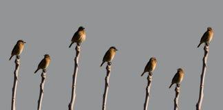 Cartaxo-Comum veelvoudige schoten van Saxicolarubicola van dezelfde vogel stock fotografie