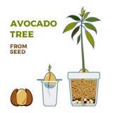 Cartaz crescente do guia do vetor da ?rvore de abacate Instru??o simples verde para crescer a ?rvore de abacate da semente Ciclo  ilustração do vetor