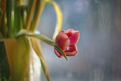 Carte avec des tulipes Photographie stock libre de droits