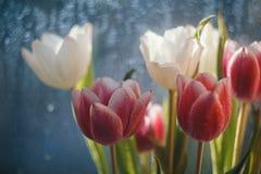 Carte avec des tulipes Images stock
