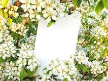Carte contre des fleurs d'une poire sauvage Photo stock