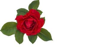 Carte de voeux avec la fleur de rose d'écarlate Photographie stock libre de droits