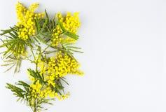 Carte de voeux de célébration de jour de femme, mimosa sur un fond blanc Photographie stock libre de droits