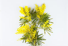 Carte de voeux de célébration de jour de femme, mimosa sur un fond blanc Images stock