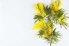 Carte de voeux de célébration de jour de femme, mimosa sur un fond blanc Photo libre de droits