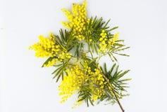Carte de voeux de célébration de jour de femme, mimosa sur un fond blanc Image stock