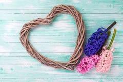 Carte postale avec les jacinthes fraîches et coeur sur en bois bleu vert Photos stock