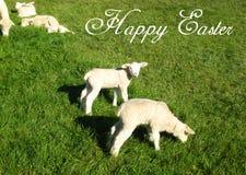 Carte postale avec un agneau et un mouton suisses doux sur un pré vert au soleil pour des cartes de Pâques photographie stock