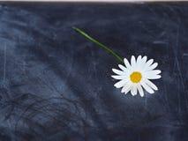 Carte postale de marguerite Images libres de droits