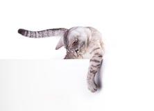 Cartel en blanco del gato Fotografía de archivo libre de regalías