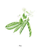 Cartel pintado a mano de la acuarela con el guisante de olor libre illustration