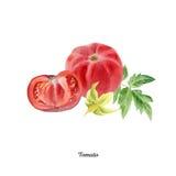 Cartel pintado a mano de la acuarela con el tomate libre illustration