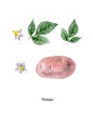 Cartel pintado a mano de la acuarela con la patata libre illustration