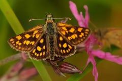 Carterocephalus palaemon - vlinder Royalty-vrije Stock Foto