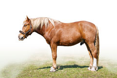 Carthorse. The cream-coloured carthorse (lateral view Stock Photography