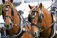 Carthorses at Herts County Show Royalty Free Stock Images