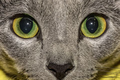 Carthusian cat eyes Royalty Free Stock Photo