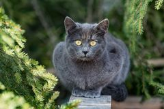Carthusian grey cat yellow eyes portrait. Looking at you Stock Photo