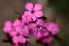 Carthusian Pink (Dianthus carthusianorum) stock images